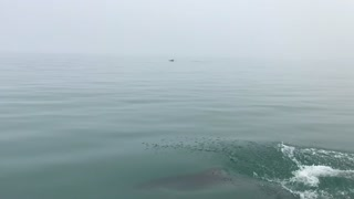 Dolphins Playing - Video