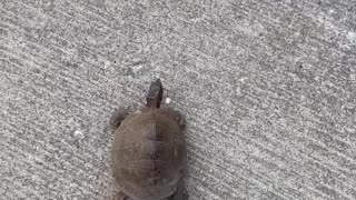 Helping a Tortoise Cross the Street