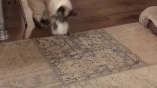 Cat playing with fuzzy ball - Video