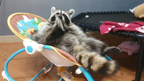Raccoon is lying down comfortably, trimming his beard neatly and organizing his nails and nails