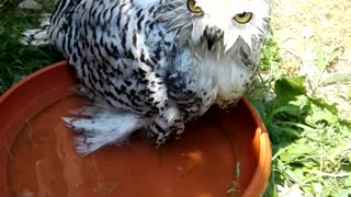 My owl Sheila  - Video