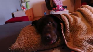 Dog waking up from being sedated for surgery - Video