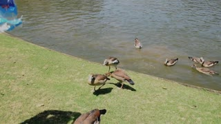 even ducks get bullied, the pond bullie  - Video