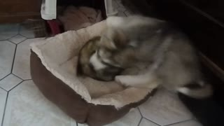 Husky puppy plays with ferret - Video