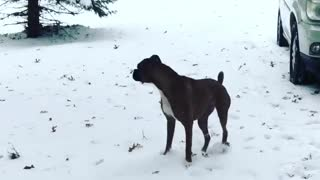 Boxer literally yelps in excitement to play in snow