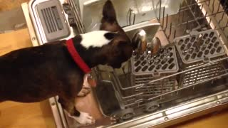 Boston Terrier caught cleaning the dishes - Video