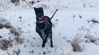 Great Dane Slow Motion Zoomies SloMo