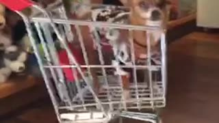 Small brown chihuahua wearing sweater inside of small shopping cart