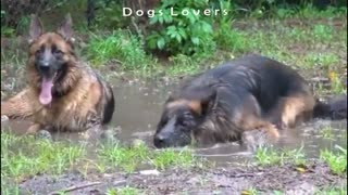 Two Dogs Sitting On The Floor in The Water. - Video