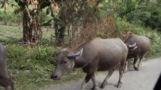 Herd Of Banteng Cows Walking With Female Owner On Street