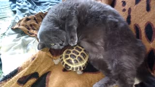 To cat it is good from massage of a turtle.  - Video