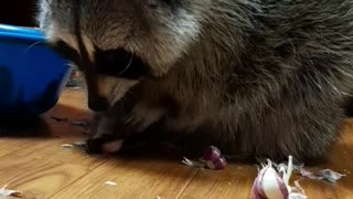 Raccoon is peeling garlic with delicate touch.