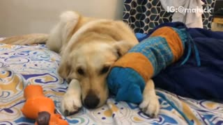 Tan dog laying on bed biting on blue pillow - Video
