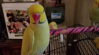 Indian ringneck parakeet says hello for the camera - Video