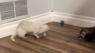 Ferret Trying To Take A Plastic Bottle from The other