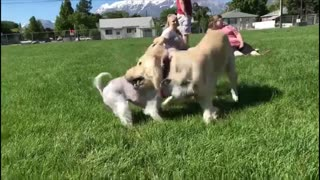 Little dog gets squished by big dog