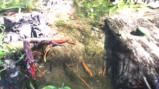 Beautiful fish in backyard  - Video