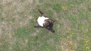 Using drone technology to exercise a French Bulldog