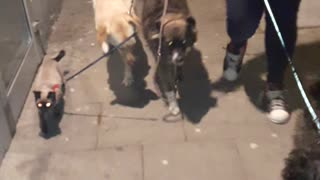 Cat walks on leash with dogs