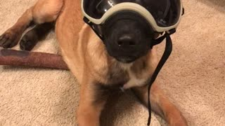 Pup really enjoys his new goggles - Video