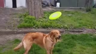 Dog tries to catch frisbee and misses  - Video