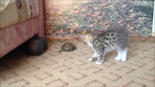 Cat Attacks a Turtle - Video