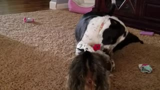 Two dogs wrestle over red toy in living room - Video