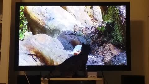 Tv addict cat