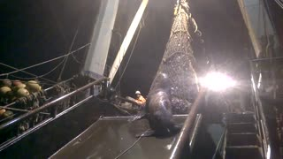 Sea Lion Caught By A Fishing Trawler - Video