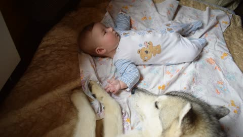 Large gray wolf and baby, incredible tenderness.