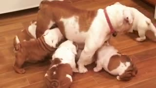 The has to be the most patient mama bulldog ever