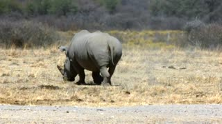 A White Rhinoceros
