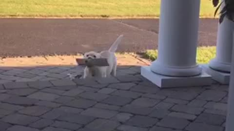 Tiny Puppy Enthusiastically Fetches Newspaper For Owner