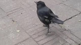 Rescued Crow Learns to Imitate Chickens