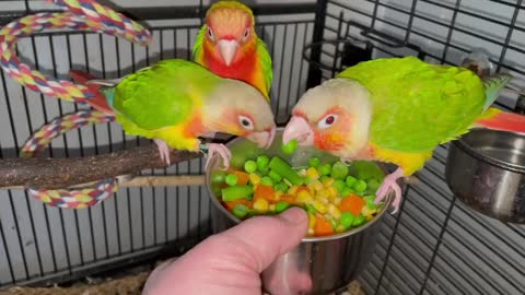 Pineapple green cheek conures. One dominant red.
