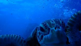 Turtle Tries To Kiss Scuba Divers Camera