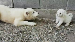 Fearless Puppies Engage In Cute Wrestling Match With A Larger Dog