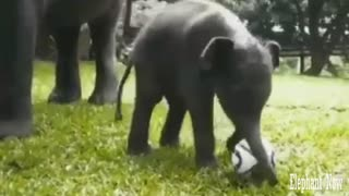 An Elephant Smoll  plays football. - Video
