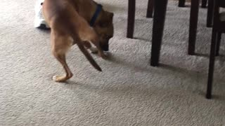 Silly Dog Doing the Bandage Removal Dance
