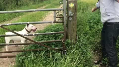 Bull Terrier bamboozled by open-ended gate