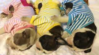 Boston Terrier puppies sleep adorably in pajamas - Video