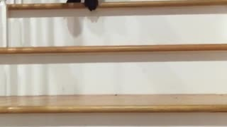 Black dog trying to climb down wooden stairs fails at the end