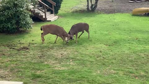 Fighting bucks engage in tense battle in man's backyard