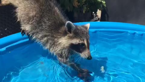 rescue raccoon fishing for a snack