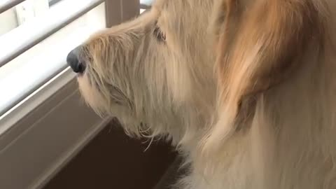 Dogy Looking At The Enemy From The Window