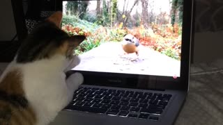 Cat looking at bird video on laptop - Video