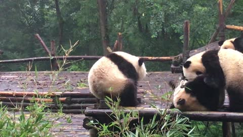 Giant panda has an itch it can't scratch