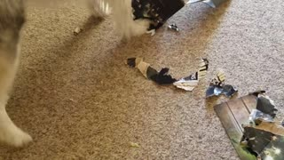 Husky Eats His Daddies Walking Dead Loot Crate Box  - Video