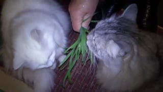 Cats are vegetarians.  - Video