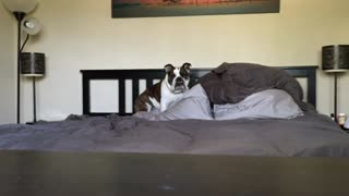 Stubborn English Bulldog refuses to get off bed - Video